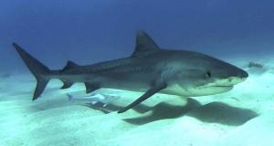 Tijger-haai
